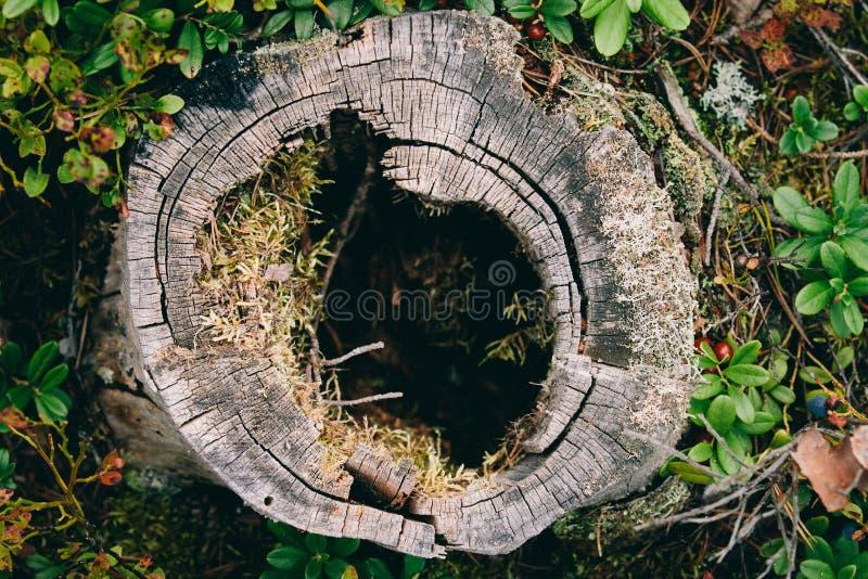Πολύβλαστο, κοίλο κολόβωμα δέντρων στοκ φωτογραφίες με δικαίωμα ελεύθερης χρήσης