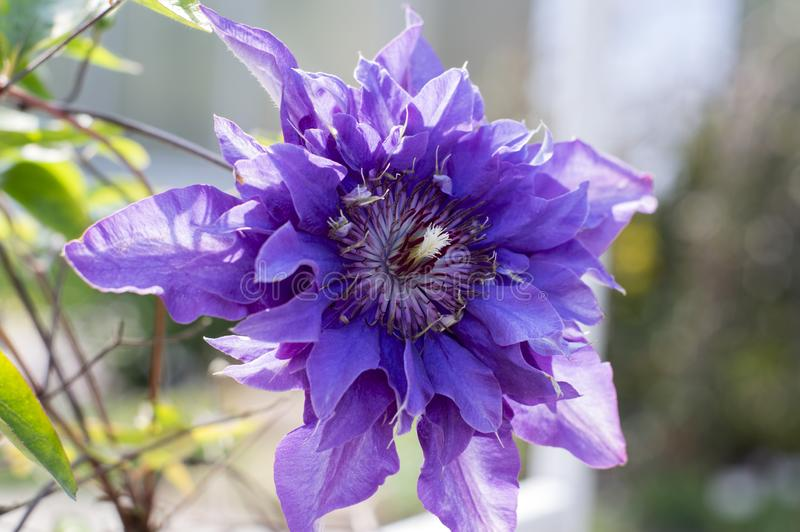 Πολυ μπλε διακοσμητικά ανθίζοντας φυτά ποικιλιών Clematis, ιώδη μπλε πορφυρά διπλά λουλούδια στην άνθιση στοκ φωτογραφία