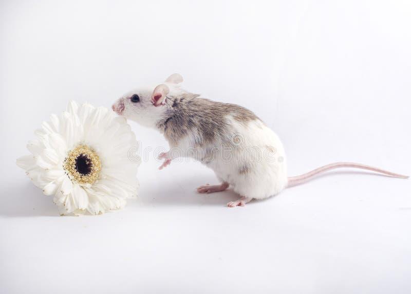 Ποντίκι στο άσπρο μυρίζοντας λουλούδι σκηνικού στοκ φωτογραφίες