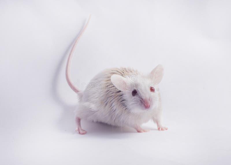 Ποντίκι στο άσπρο σκηνικό στοκ εικόνα με δικαίωμα ελεύθερης χρήσης