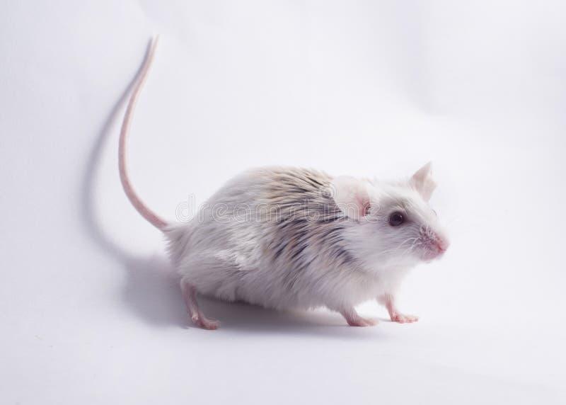 Ποντίκι στο άσπρο σκηνικό στοκ εικόνες