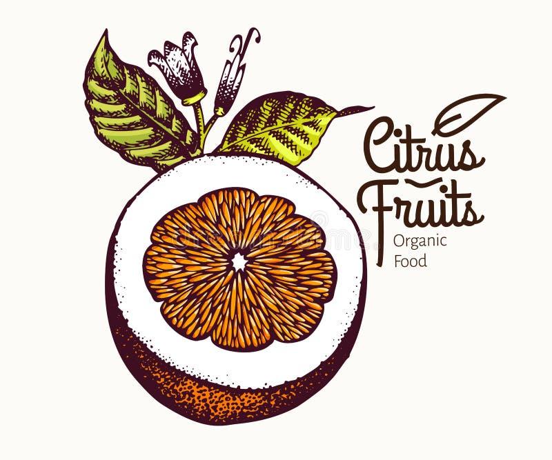 πορτοκάλι απεικόνισης αποκοπών Συρμένη χέρι διανυσματική απεικόνιση φρούτων Χαραγμένο ύφος Εκλεκτής ποιότητας απεικόνιση εσπεριδο ελεύθερη απεικόνιση δικαιώματος