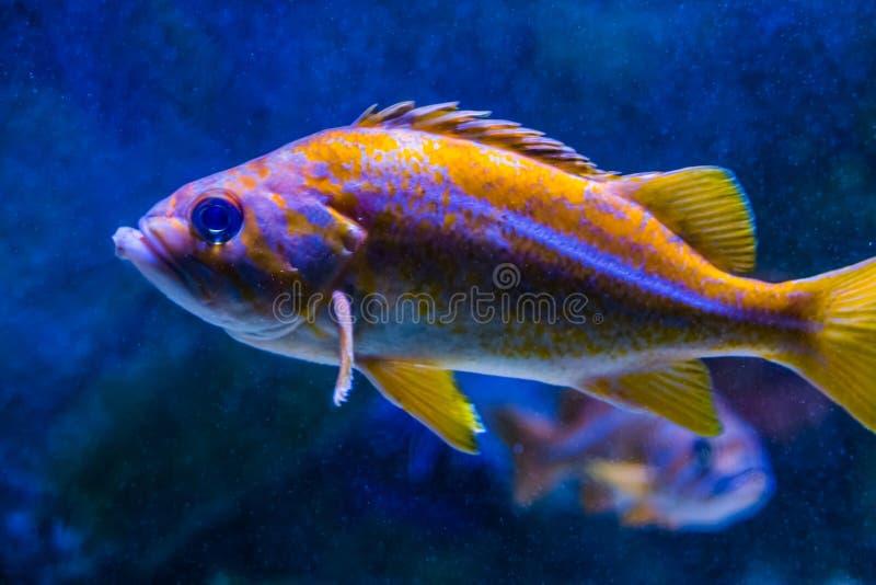 Πορτοκάλι με τα άσπρα ριγωτά και επισημασμένα ψάρια, ζωηρόχρωμα τροπικά ψάρια που κολυμπούν στο μπλε νερό στοκ εικόνες με δικαίωμα ελεύθερης χρήσης