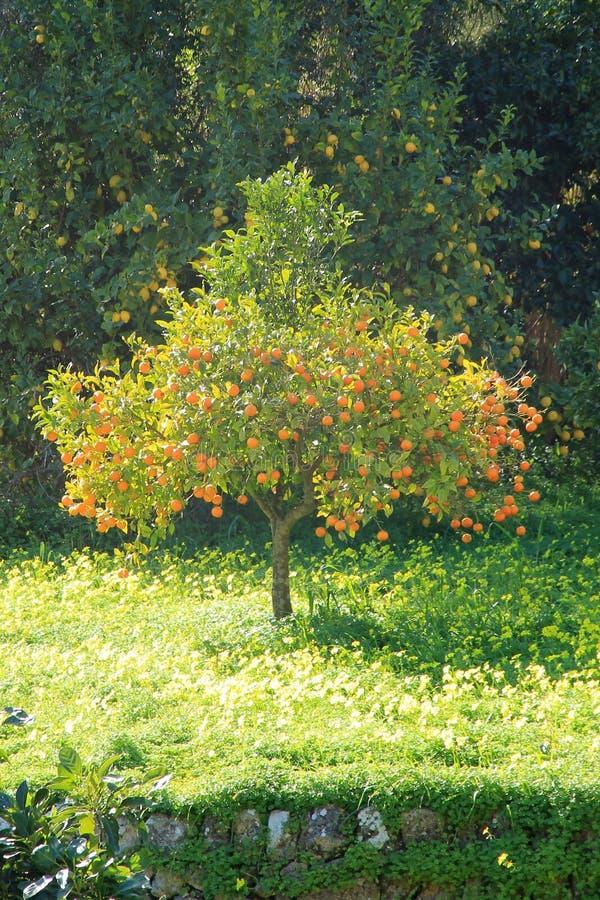 Πορτοκαλί δέντρο αστραπής στο πέτρινο πεζούλι στοκ εικόνες