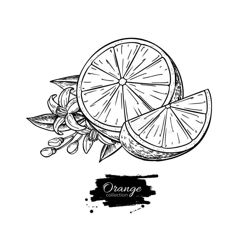 Πορτοκαλί διανυσματικό σχέδιο Θερινή χαραγμένη φρούτα απεικόνιση Απομονωμένο συρμένο χέρι πορτοκάλι απεικόνιση αποθεμάτων