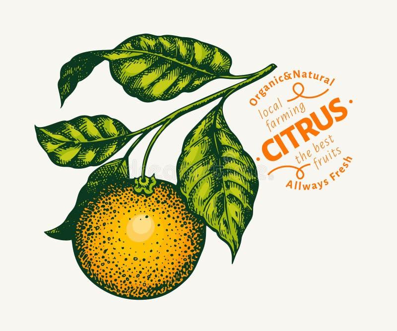 Πορτοκαλιά απεικόνιση κλάδων Συρμένη χέρι διανυσματική tangerine απεικόνιση Χαραγμένα φρούτα ύφους Εκλεκτής ποιότητας απεικόνιση  διανυσματική απεικόνιση