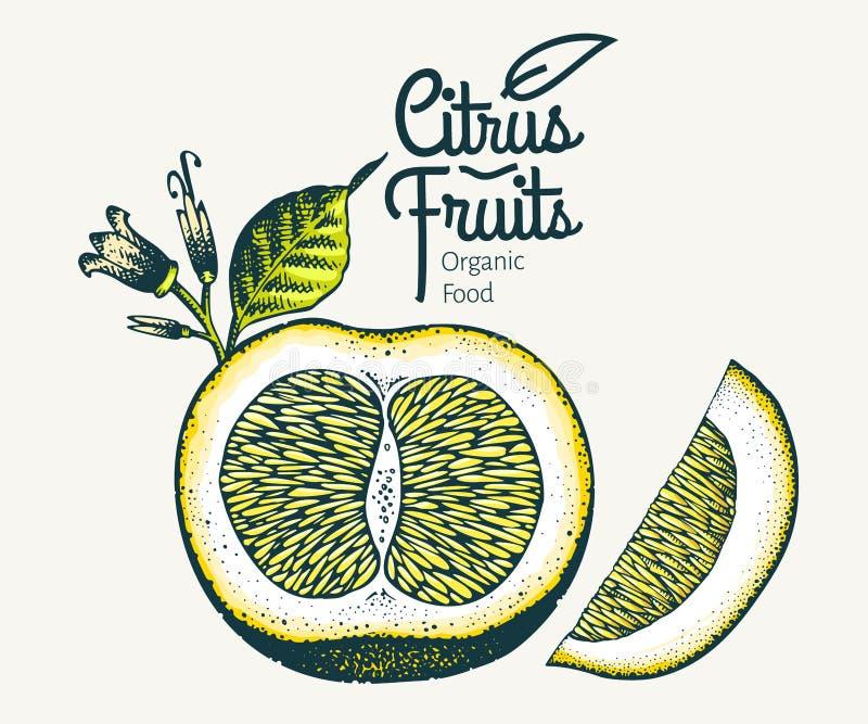 Πορτοκαλιά απεικόνιση Συρμένη χέρι διανυσματική απεικόνιση φρούτων Χαραγμένο ύφος Εκλεκτής ποιότητας απεικόνιση εσπεριδοειδών γκρ ελεύθερη απεικόνιση δικαιώματος
