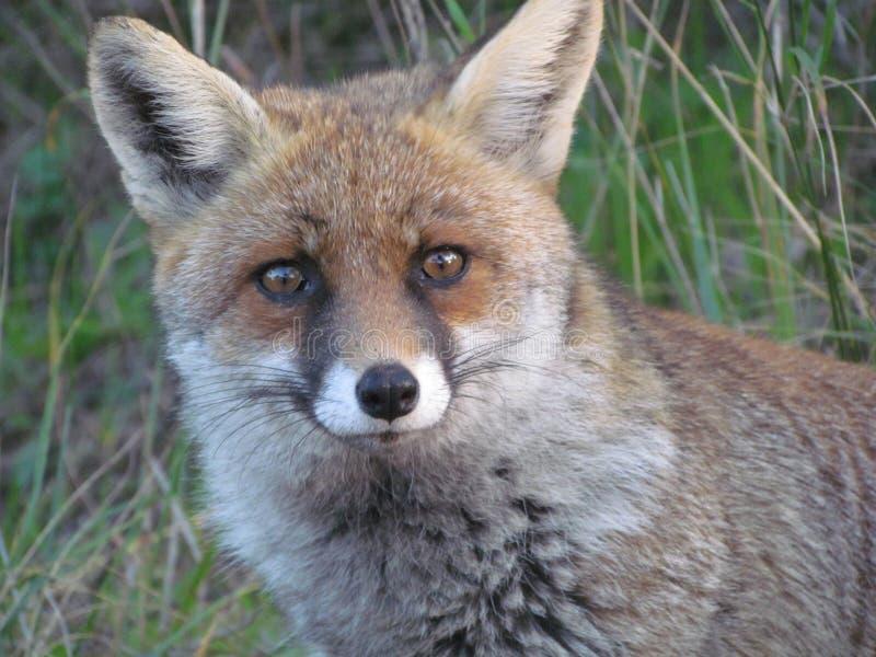 Πορτρέτο αλεπούδων στοκ φωτογραφία με δικαίωμα ελεύθερης χρήσης