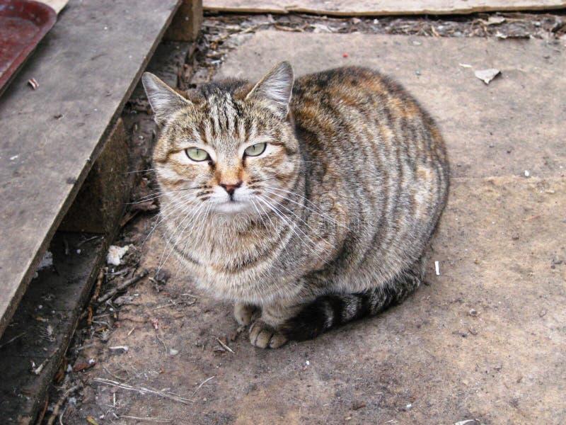πορτρέτο ενός όμορφου γκρίζου κατοικίδιου ζώου γατών στοκ φωτογραφία