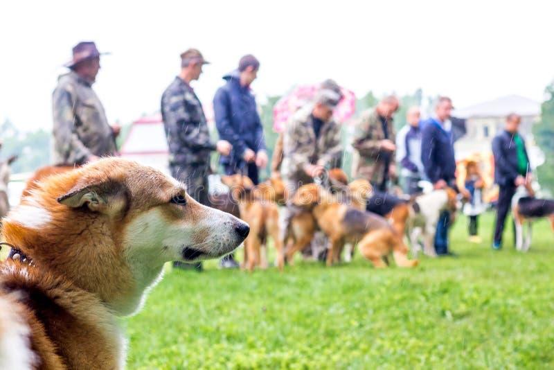 Πορτρέτο ενός σκυλιού κτηνοτρόφων σε μια έκθεση του κυνηγιού των σκυλιών στο βροχερό weather_ στοκ εικόνα
