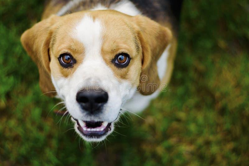 Πορτρέτο ενός σκυλιού λαγωνικών στοκ φωτογραφία με δικαίωμα ελεύθερης χρήσης