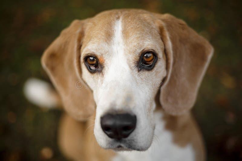 Πορτρέτο ενός σκυλιού λαγωνικών στοκ φωτογραφία