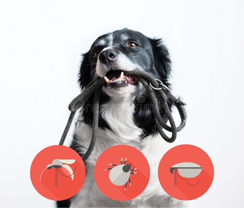 Πορτρέτο ενός σκυλιού με τα εικονίδια των parazites γύρω από το κεφάλι του Κόλλεϊ συνόρων με το λουρί στο στόμα στοκ φωτογραφία