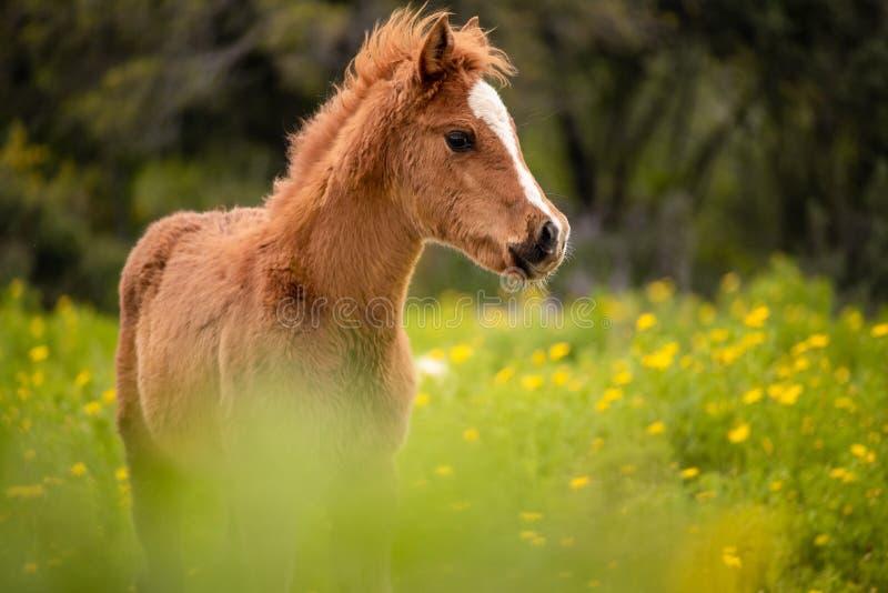 Πορτρέτο καφετί foal σε ένα ανθίζοντας λιβάδι στοκ φωτογραφίες