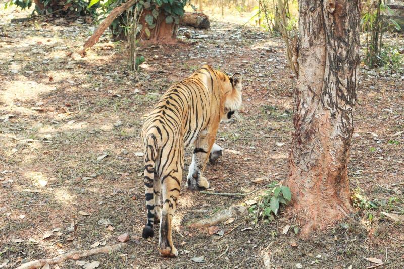 Πορτρέτο μιας τίγρης τιγρών στοκ φωτογραφίες με δικαίωμα ελεύθερης χρήσης