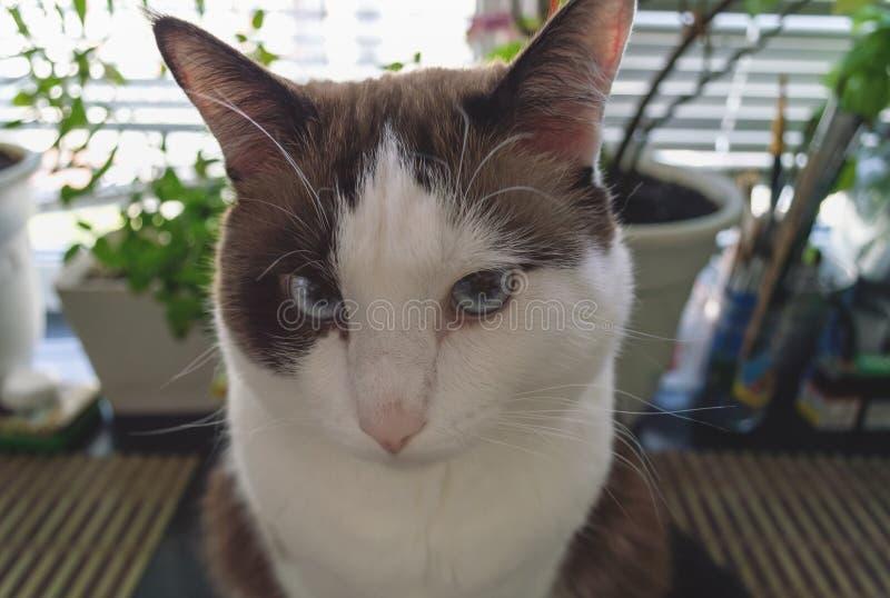 Πορτρέτο της χαριτωμένης γάτας με τα μπλε μάτια στοκ εικόνα με δικαίωμα ελεύθερης χρήσης