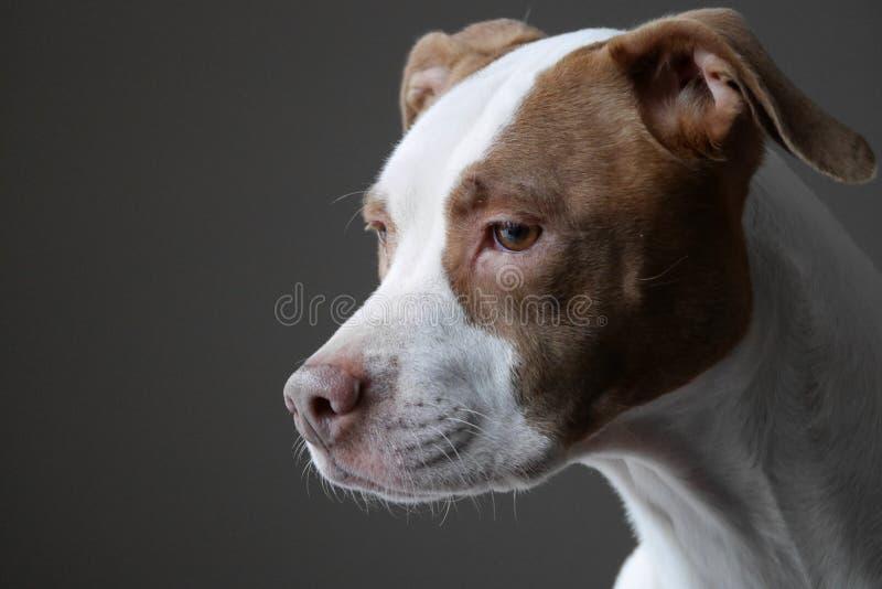 Πορτρέτο του σκυλιού πίτμπουλ που φαίνεται έξω παράθυρο στοκ φωτογραφία