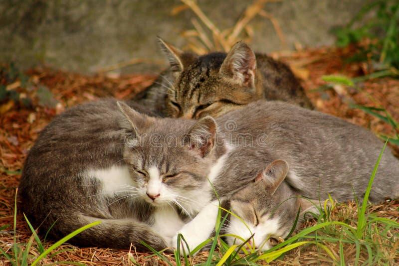 Πορτρέτο τριών μικρών εσωτερικών γατακιών που κοιμούνται στη χλόη στον κήπο, απολαμβάνοντας στον ήλιο απογεύματος και το όμορφο φ στοκ εικόνες με δικαίωμα ελεύθερης χρήσης