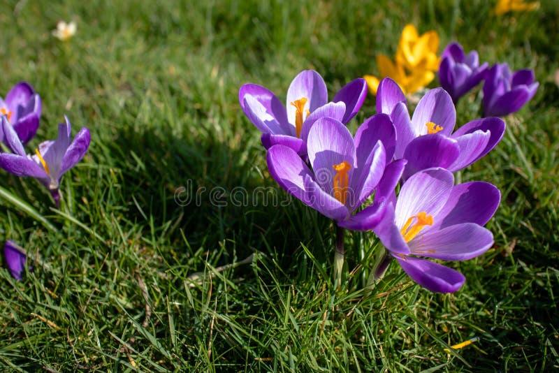 Πορφυρά και κίτρινα λουλούδια κρόκων στην άνθιση διαγωνίως στοκ εικόνα με δικαίωμα ελεύθερης χρήσης