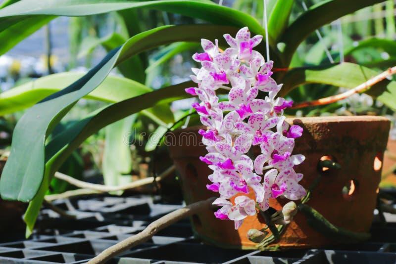Πορφυρός-άσπρες ορχιδέες στα λουλούδια αγροτικών ορχιδεών στο φωτεινό φως του ήλιου Με ένα θολωμένο υπόβαθρο στοκ φωτογραφία με δικαίωμα ελεύθερης χρήσης