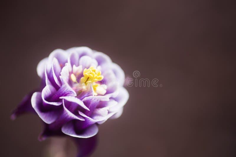 Πορφυρό λουλούδι columbine κινηματογραφήσεων σε πρώτο πλάνο με το ουδέτερο θολωμένο υπόβαθρο στοκ φωτογραφίες