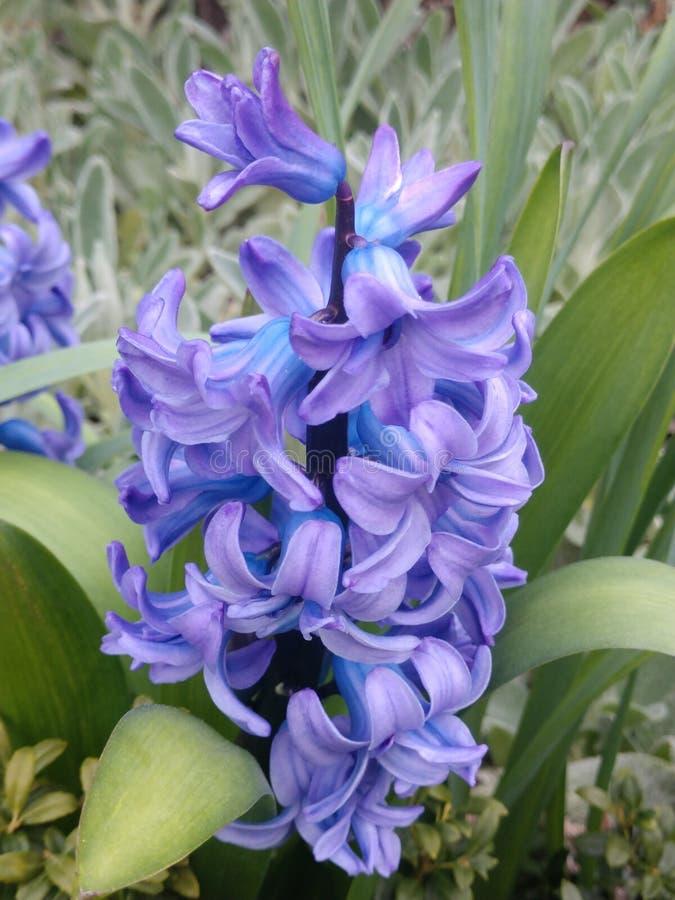 Πορφυρό στροβιλιμένος λουλούδι στοκ εικόνες