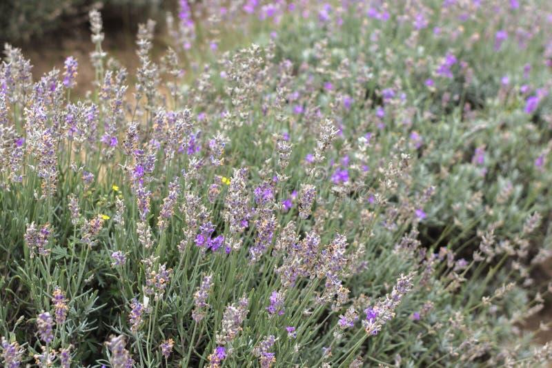 Πορφυρό lavender ανθίζει την κινηματογράφηση σε πρώτο πλάνο στοκ φωτογραφίες