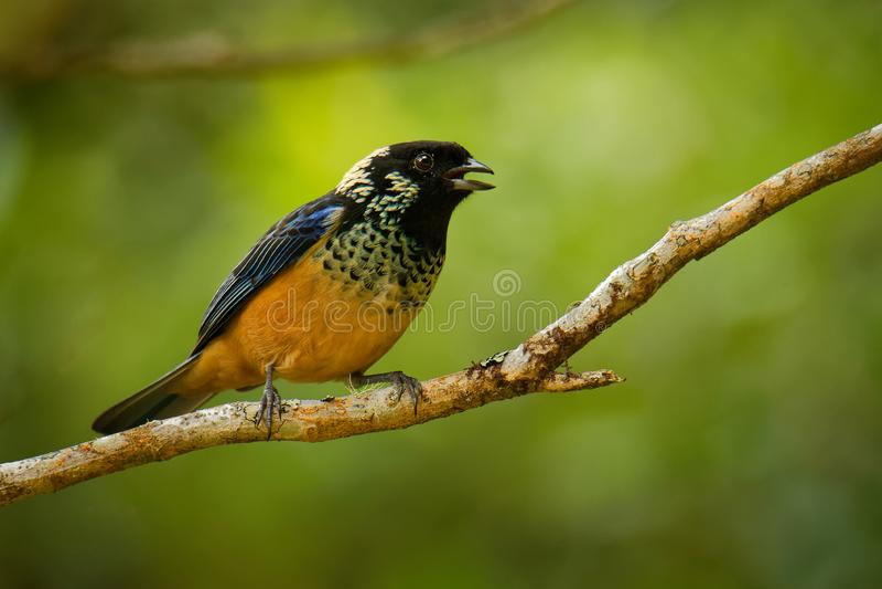 Πούλια-το πουλί passerine dowii Tanager - Tangara, ο ενδημικός εδρεύων κτηνοτρόφος στις ορεινές περιοχές της Κόστα Ρίκα και ο Παν στοκ εικόνες με δικαίωμα ελεύθερης χρήσης