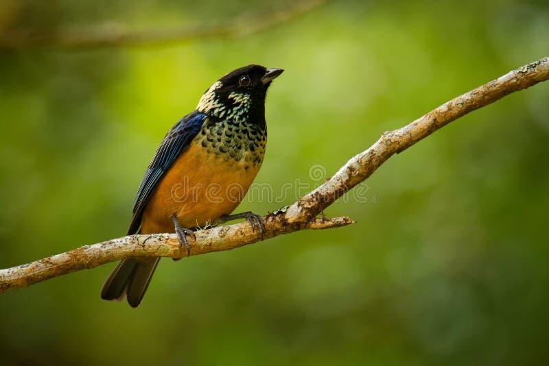 Πούλια-το πουλί passerine dowii Tanager - Tangara, ο ενδημικός εδρεύων κτηνοτρόφος στις ορεινές περιοχές της Κόστα Ρίκα και ο Παν στοκ φωτογραφίες με δικαίωμα ελεύθερης χρήσης
