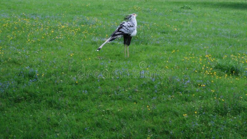 Πουλί γραμματέων στον τομέα αφρικανικά πουλιά στοκ εικόνα