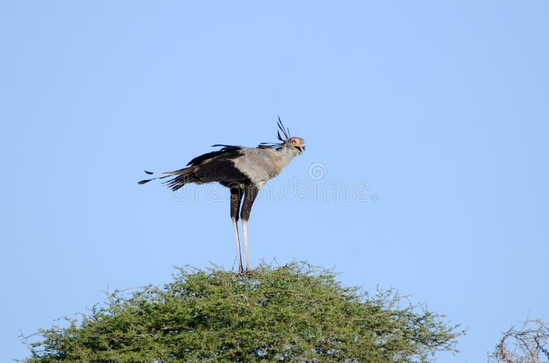 Πουλί γραμματέων που στέκεται σε ένα αφρικανικό δέντρο ακακιών, εθνικό πάρκο Kruger, Νότια Αφρική στοκ εικόνα με δικαίωμα ελεύθερης χρήσης