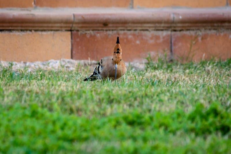 Πουλί Hoopoe το καλοκαίρι στοκ εικόνα με δικαίωμα ελεύθερης χρήσης