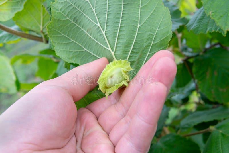 Πράσινα φουντούκια στο στάδιο της ωρίμανσης στο θάμνο Ξύλο καρυδιάς μέσα σε ετοιμότητα ανθρώπινο στοκ φωτογραφία
