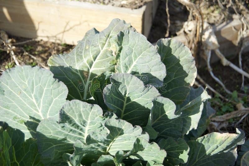 Πράσινες εγκαταστάσεις του Kale, λάχανων, σπανακιού ή λάχανων στοκ φωτογραφία
