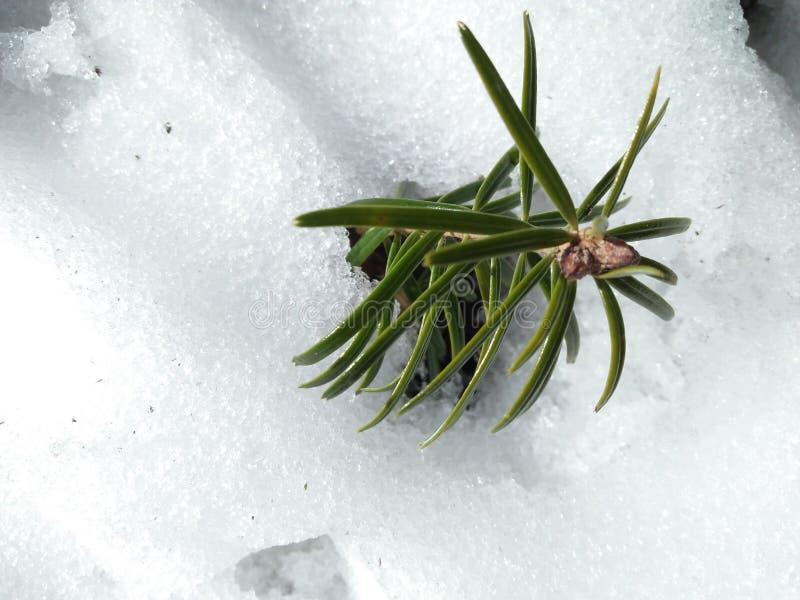 Πράσινη ομορφιά στο χιόνι στοκ εικόνα με δικαίωμα ελεύθερης χρήσης