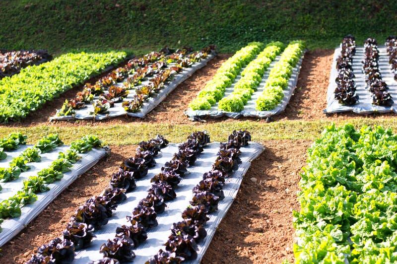 Πράσινη φυτική σαλάτα, σαλάτα και κόκκινη σαλάτα στοκ εικόνες