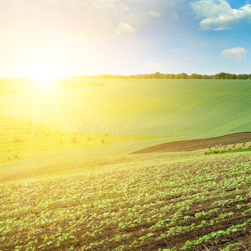 Πράσινοι τομέας και μπλε ουρανός με τα ελαφριά σύννεφα Επάνω από τον ορίζοντα είναι μια φωτεινή ανατολή στοκ φωτογραφία με δικαίωμα ελεύθερης χρήσης