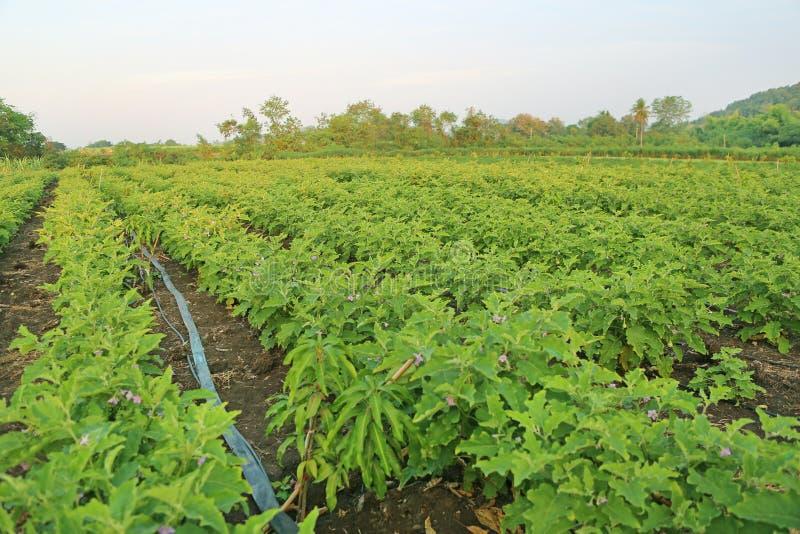 Πράσινοι τομείς της μελιτζάνας στοκ εικόνα με δικαίωμα ελεύθερης χρήσης
