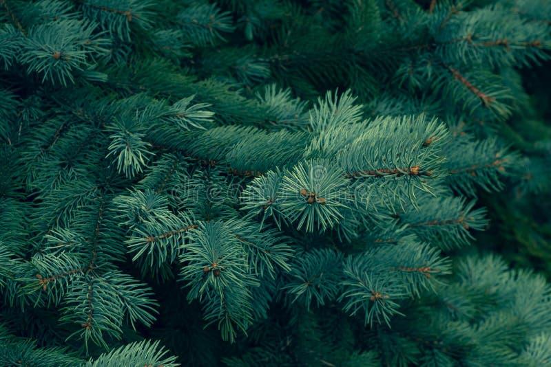 Πράσινος κωνοφόρος σύστασης πεύκων Πράσινο κωνοφόρο, πράσινο υπόβαθρο σύστασης πεύκων Φυσικό πρότυπο Αφηρημένη κινηματογράφηση σε στοκ εικόνα με δικαίωμα ελεύθερης χρήσης