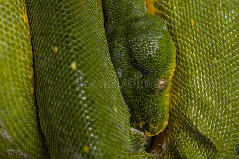Πράσινο φίδι κατά την άποψη κινηματογραφήσεων σε πρώτο πλάνο στο μάτι στοκ εικόνα