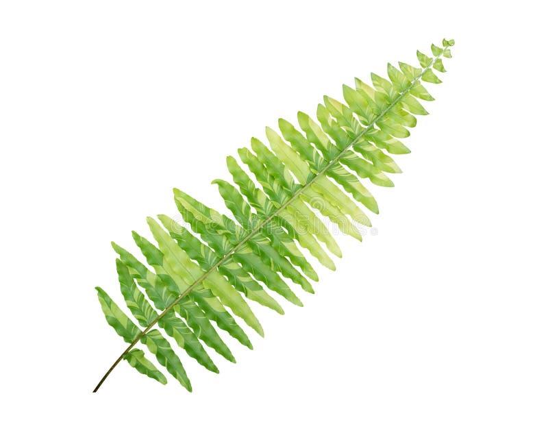 Πράσινο φύλλων της Βοστώνης μαρμάρινο αστέρι niponicum Athyrium φυτών φτερών τροπικό που απομονώνεται στο άσπρο υπόβαθρο, πορεία  στοκ φωτογραφία