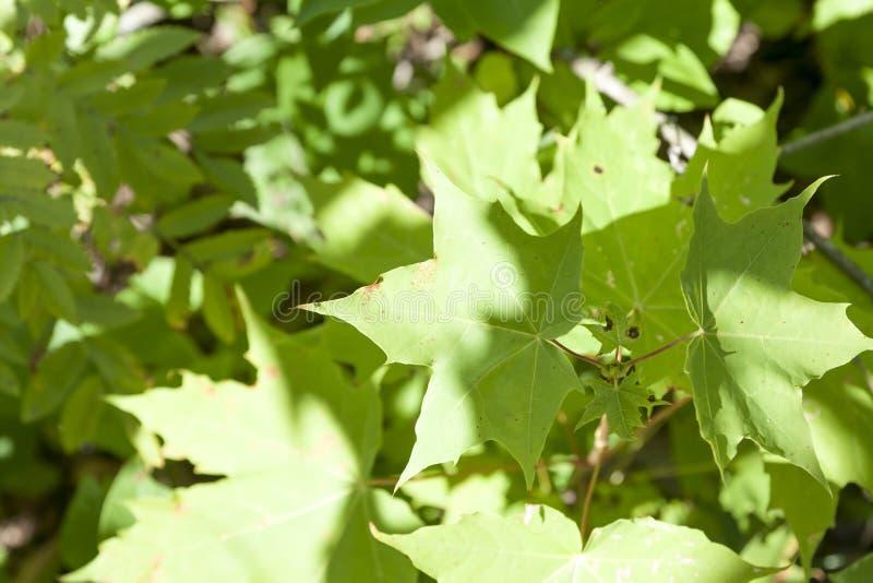 Πράσινο υπόβαθρο φύλλων σφενδάμνου στο θερινό δάσος στη Φινλανδία φυσική σύσταση στοκ φωτογραφία με δικαίωμα ελεύθερης χρήσης