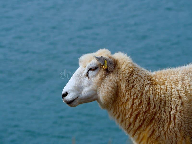 Πρόβατα που αγνοούν το κανάλι του Μπρίστολ στοκ εικόνα