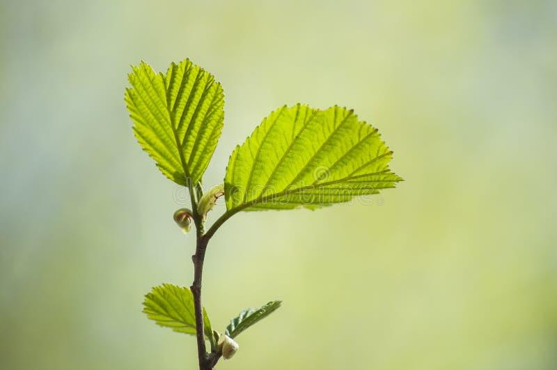 Πρώιμο ελατήριο με την κινηματογράφηση σε πρώτο πλάνο των φρέσκων πράσινων φύλλων του φωτός του ήλιου κλάδων δέντρων κληθρών την  στοκ φωτογραφίες