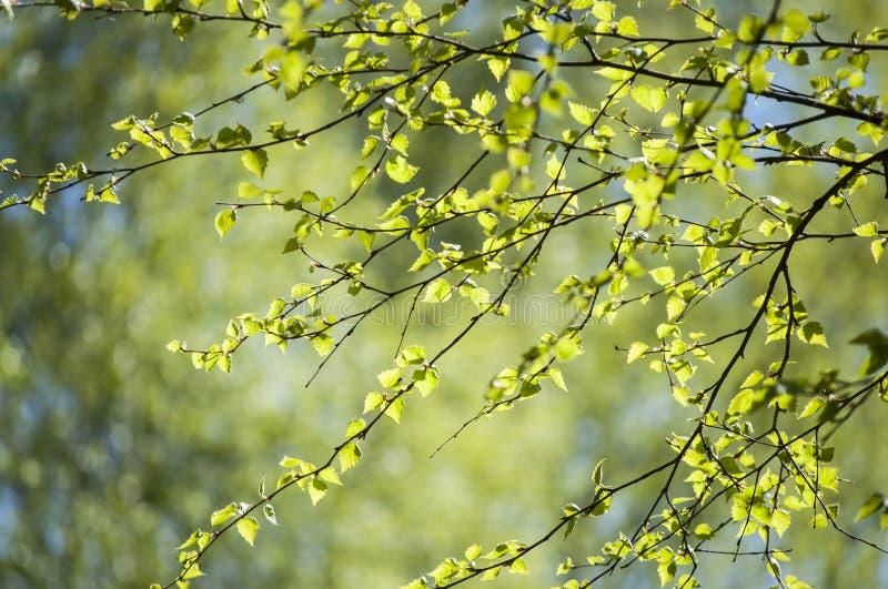 Πρώιμο ελατήριο με την κινηματογράφηση σε πρώτο πλάνο των φρέσκων πράσινων φύλλων του φωτός του ήλιου κλάδων δέντρων σημύδων την  στοκ εικόνα με δικαίωμα ελεύθερης χρήσης