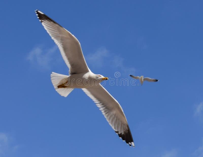 Πτήση seagull σε έναν μπλε ουρανό στοκ φωτογραφία με δικαίωμα ελεύθερης χρήσης