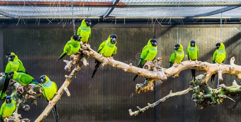Πτηνοτροφία, κλάδος Α με Nanday parakeets σε ένα κλουβί, δημοφιλή κατοικίδια ζώα στην πτηνοτροφία, τροπικοί μικροί παπαγάλοι από  στοκ εικόνες