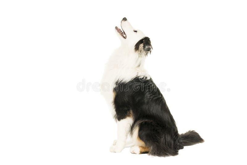 Австралийская собака чабана в белой предпосылке сидя косой смотреть вверх стоковое фото