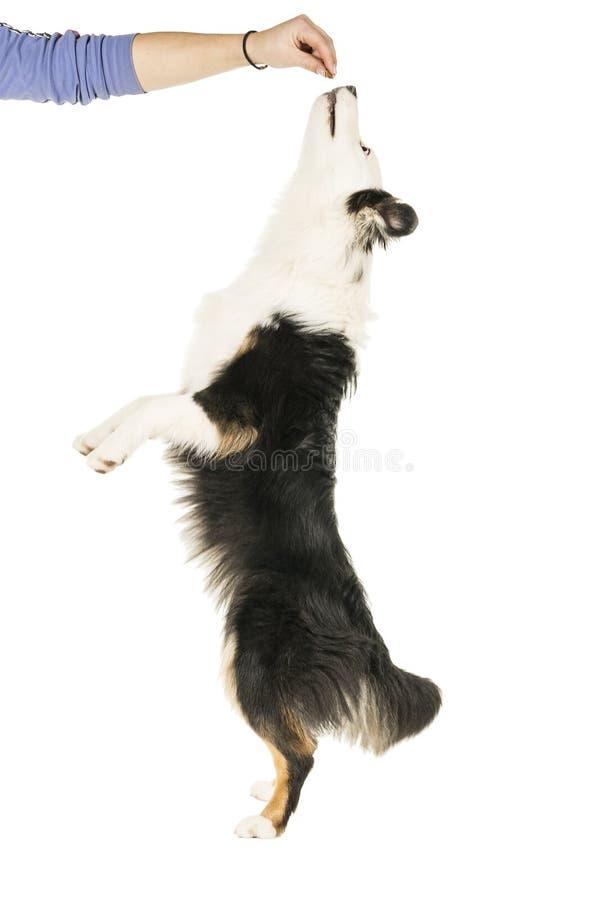 Австралийская собака чабана в белой предпосылке скача вверх для обслуживания стоковые фото