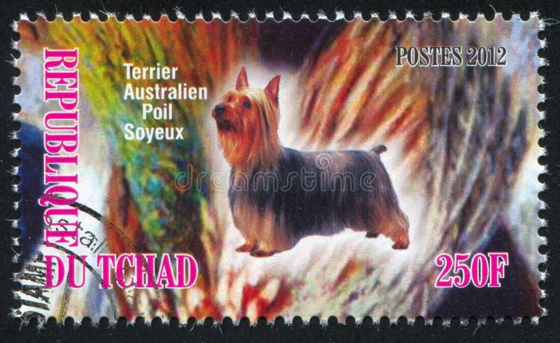 австралийский шелковистый terrier стоковые изображения rf